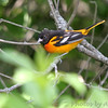 "Forest Edge Birds: Orioles: <span style=""color:#fff; background:#333;"">Baltimore Oriole</span> (Male)  <br><span class=""showLBtitle"">                                                                                         </span> Busch Wildlife Conservation Area <br> St. Charles County, Missouri <br> <a href=""/Birds/2006-Birding/Birding-2006-June/2006-06-05-Darst-Bottom-Road/i-hNdjMfp"">2006-06-05</a> <br> <br> My 1st Missouri photo, species #79 <br>  2006-04-22 17:03:02 <br> <div class=""noshow"">See #79 in photo gallery <a href=""/Birds/2006-Birding/Birding-2006-April/2006-04-22-Busch-Wildlife-Area/i-sSwnLjW"">Here</a></div>"