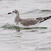 "Gulls: <span style=""color:#fff; background:#333;"">Sabine's Gull </span>  (Juvenile) <br> Longview lake  <br> Jackson County, Missouri <br> <a href=""/Birds/2016-Birding/Birding-2016-September/2016-09-13-Longview-Lake/i-qkHnXsK"">2016-09-13</a> <br><br> My 1st Missouri photo, species #345 <br> 2016-09-13 11:32:31 <br><div class=""noshow"">  See #345 in photo gallery  <a href=""/Birds/2016-Birding/Birding-2016-September/2016-09-13-Longview-Lake/i-XZDgzdz""> Here</a> </div>"