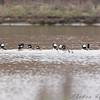 "Ducks: <span style=""color:#fff; background:#333;"">Bufflehead</span>  <br><span class=""showLBtitle"">                                                  </span> B K Leach Memorial Conservation Area <br> Lincoln County, Missouri <br> <a href=""/Birds/2009-Birding/Birding-2009-March/2009-03-26-BK-Leach/i-FhBgZDk"">2009-03-26</a> <br> <br> My 1st Missouri photo, species #153 <br> 2006-12-16 15:06:25 <br> <div class=""noshow""> See #153 in photo gallery <a href=""/Birds/2006-Birding/Birding-2006-December/2006-12-16-Riverlands/i-7SSrrmX"">Here</a></div>"