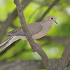 "Doves: <span style=""color:#fff; background:#333;"">Mourning Dove</span>  <br> Bridgeton, Mo. <br> <a href=""/Birds/2007-Birding/Birding-2007-May/2007-05-Yardbirds/i-LHDxtfr"">2007-05-Yardbirds</a> <br><br> My 1st Missouri photo, species #2 <br> 2004-02-01 12:36:12 <br><div class=""noshow""> See #2 in photo gallery  <a href=""/Birds/Misc-Birds/i-mSpZS83""> Here</a> </div>"