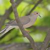 "Doves: <span style=""color:#fff; background:#333;"">Mourning Dove</span>  <br><span class=""showLBtitle"">                                             </span> City of Bridgeton <br> St. Louis County, Missouri <br> <a href=""/Birds/2007-Birding/Birding-2007-May/2007-05-Yardbirds/i-LHDxtfr"">2007-05-Yardbirds</a> <br> <br> My 1st Missouri photo, species #2 <br> 2004-02-01 12:36:12 <br> <div class=""noshow""> See #2 in photo gallery <a href=""/Birds/Misc-Birds/i-mSpZS83"">Here</a></div>"