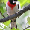 "Grosbeaks: <span style=""color:#fff; background:#333;"">Rose-breasted Grosbeak</span>  <br> St. Charles County <br> <a href=""/Birds/2006-Birding/Birding-2006-May/2006-05-06-Birding-St-Charles/i-tLWcRZb"">2006-05-06</a> <br><br> My 1st Missouri photo, species #89 <br> 2006-05-04 16:13:45<br><div class=""noshow"">  See #89 in photo gallery  <a href=""/Birds/Misc-Birds/i-sTM4nFZ""> Here</a> </div>"