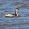 "Grebes: <span style=""color:#fff; background:#333;"">Eared Grebe</span>  <br> Below spillway <br> Maple Island Road <br> Riverlands Migratory Bird Sanctuary <br> <a href=""/Birds/2009-Birding/Birding-2009-October/2009-10-31-RMBS/i-n7cChXd"">2009-10-31</a> <br><br> My 1st Missouri photo, species #271 <br>  2009-10-31 14:41:37 <br><div class=""noshow"">  See #271 in photo gallery  <a href=""/Birds/2009-Birding/Birding-2009-October/2009-10-31-RMBS/i-VpWjXbs""> Here</a> </div>"
