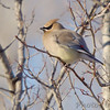 """Forest Edge Birds: <span style=""""color:#fff; background:#333;"""">Cedar Waxwing</span>  <br><span class=""""showLBtitle"""">                                             </span> Creve Couer Lake <br> St. Louis County, Missouri <br> <a href=""""/Birds/2007-Birding/Birding-2007-March/2007-03-04-Creve-Coeur-Lake/i-v5LnVKp"""">2007-03-04</a> <br> <br> My 1st Missouri photo, species #103 <br>  2006-05-19 18:07:51 <br> <div class=""""noshow"""">See #103 in photo gallery<a href=""""/Birds/2006-Birding/Birding-2006-May/2006-05-19-Katy-Trail-access/i-SmCrW7v"""">Here</a></div>"""
