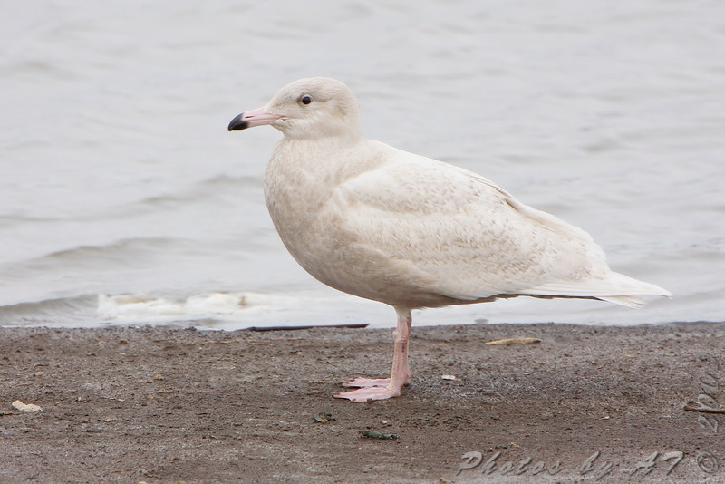 "Gulls: <span style=""color:#fff; background:#333;"">Glaucous Gull</span> (1st cycle)  <br><span class=""showLBtitle"">                                             </span> Ellis Bay <br> Riverlands Migratory Bird Sanctuary <br> St. Charles County, Missouri <br> <a href=""/Birds/2009-Birding/Birding-2009-November/2009-11-25-RMBS/i-sSJq8LT"">2009-11-25</a> <br> <br> My 1st Missouri photo, species #226 <br>  2009-01-09 13:27:49 <br> <div class=""noshow"">See #226 in photo gallery <a href=""/Birds/2009-Birding/Birding-2009-January/2009-01-09-Riverlands/i-NdV8TrN"">Here</a></div>"