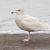 "Gulls: <span style=""color:#fff; background:#333;"">Glaucous Gull</span> (1st cycle)  <br><span class=""showLBtitle"">                                                                                         </span> Ellis Bay <br> Riverlands Migratory Bird Sanctuary <br> St. Charles County, Missouri <br> <a href=""/Birds/2009-Birding/Birding-2009-November/2009-11-25-RMBS/i-sSJq8LT"">2009-11-25</a> <br> <br> My 1st Missouri photo, species #226 <br>  2009-01-09 13:27:49 <br> <div class=""noshow"">See #226 in photo gallery <a href=""/Birds/2009-Birding/Birding-2009-January/2009-01-09-Riverlands/i-NdV8TrN"">Here</a></div>"