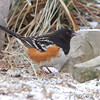 """Forest Edge Birds: Towhees: <span style=""""color:#fff; background:#333;"""">Spotted Towhee</span>  <br><span class=""""showLBtitle"""">                                             </span> City of Linn <br> Osage County, Missouri <br> <a href=""""/Birds/2011-Birding/Birding-2011-January/2011-01-10-Linn-MO/i-pdG9jz3"""">2011-01-10</a> <br> <br> My 1st Missouri photo, species #296 <br> 2011-01-10 11:21:14 <br> <div class=""""noshow"""">See #296 in photo gallery<a href=""""/Birds/2011-Birding/Birding-2011-January/2011-01-10-Linn-MO/i-fKx2qcD"""">Here</a></div>"""