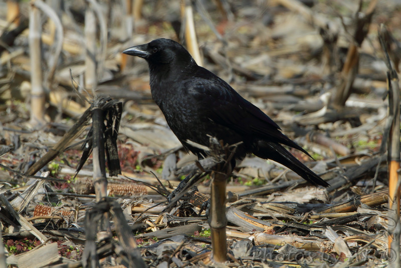 """Blackbirds: <span style=""""color:#fff; background:#333;"""">American Crow</span>  <br> Columbia Bottom Conservation Area <br> <a href=""""/Birds/2012-Birding/Birding-2012-January/2012-01-24-CBCA-RMBS/i-6gbZBTM"""">2012-01-24</a> <br><br>  My 1st Missouri photo, species #146 <br> 2006-11-13 14:23:25 <br><div class=""""noshow"""">  See #146 in photo gallery  <a href=""""/Birds/2006-Birding/Birding-2006-November/2006-11-13-Riverlands/i-74fjVmC""""> Here</a> </div>"""