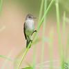 "Flycatchers: <span style=""color:#fff; background:#333;"">Willow Flycatcher</span>  <br><span class=""showLBtitle"">                                             </span> Behind Heron Pond <br> Riverlands Migratory Bird Sanctuary <br> St. Charles County, Missouri <br> <a href=""/Birds/2008-Birding/Birding-2008-July/2008-07-22-RMBS/i-nZ8tXXK"">2008-07-22</a> <br> <br> My 1st Missouri photo, species #196 <br>  2008-07-22 15:58:35 <br> <div class=""noshow"">See #196 in photo gallery <a href=""/Birds/2008-Birding/Birding-2008-July/2008-07-22-RMBS/i-nZ8tXXK"">Here</a></div>"