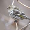 "Finch like Birds: <span style=""color:#fff; background:#333;"">Pine Siskin</span> <br><span class=""showLBtitle"">                                              </span> Powder Valley Nature Center <br> St. Louis County, Missouri <br> <a href=""/Birds/2009-Birding/Birding-2009-January/2009-01-16-Powder-Valley/i-fdKqdZZ"">2009-01-16</a> <br> <br> My 1st Missouri photo, species #179 <br> 2007-11-02 12:47:06 <br> <div class=""noshow"">See #179 in photo gallery <a href=""/Birds/2007-Birding/Birding-2007-Aug-Sept-Oct-Nov/2007-11-November-Misc/i-jKFbZ8G"">Here</a></div>"
