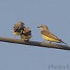 "Flycatchers: <span style=""color:#fff; background:#333;"">Western Kingbird</span>  <br><span class=""showLBtitle"">                                             </span>  and Fledglings  <br> Bridgeton Municipal Athletic Complex (BMAC) <br>  Missouri Bottoms <br> St. Louis County, Missouri <br> <a href=""/Birds/2007-Birding/Birding-2007-June-July/2007-07-010213-Bridgeton/i-xMXD5sC"">2007-07-13</a> <br> <br> My 1st Missouri photo, species #176 <br> 2007-07-01 15:59:24 <br> <div class=""noshow"">See #176 in photo gallery <a href=""/Birds/2007-Birding/Birding-2007-June-July/2007-07-010213-Bridgeton/i-4FPHz4r"">Here</a></div>"