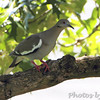 """Doves: <span style=""""color:#fff; background:#333;"""">White-winged Dove</span>  <br><span class=""""showLBtitle"""">                                             </span> City of East Prairie <br> Mississippi County, Missouri <br> <a href=""""/Birds/2010-Birding/Birding-2010-June/2010-06-18-SE-Mo/i-qdR3DQK"""">2010-06-18</a> <br> <br> My 1st Missouri photo, species #287 <br> 2010-06-18 10:20:16 <br> <div class=""""noshow"""">See #287 in photo gallery <a href=""""/Birds/2010-Birding/Birding-2010-June/2010-06-18-SE-Mo/i-qdR3DQK"""">Here</a></div>"""