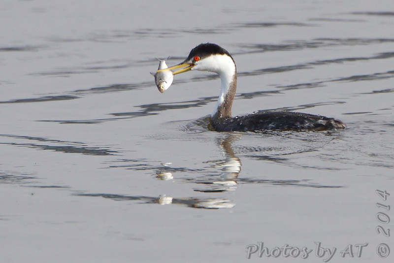 """Grebes: <span style=""""color:#fff; background:#333;"""">Western Grebe</span>  <br> Lincoln Shields Area - Mississippi River <br> Riverlands Migratory Bird Sanctuary <br> <a href=""""/Birds/2014-Birding/Birding-2014-December/2014-12-12-13-15-RMBS/i-4p4xzNW"""">2014-12-13</a> <br><br> My 1st Missouri photo, species #273 <br>  2009-11-13 15:06:51 <br><div class=""""noshow"""">  See #273 in photo gallery  <a href=""""/Birds/2009-Birding/Birding-2009-November/2009-11-14-Smithville-lake/i-WR6mPnT""""> Here</a> </div>"""