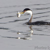 "Grebes: <span style=""color:#fff; background:#333;"">Western Grebe</span>  <br> Lincoln Shields Area - Mississippi River <br> Riverlands Migratory Bird Sanctuary <br> <a href=""/Birds/2014-Birding/Birding-2014-December/2014-12-12-13-15-RMBS/i-4p4xzNW"">2014-12-13</a> <br><br> My 1st Missouri photo, species #273 <br>  2009-11-13 15:06:51 <br><div class=""noshow"">  See #273 in photo gallery  <a href=""/Birds/2009-Birding/Birding-2009-November/2009-11-14-Smithville-lake/i-WR6mPnT""> Here</a> </div>"