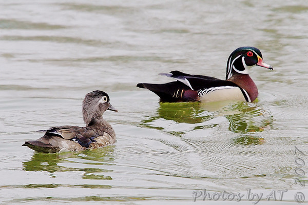 """Ducks: <span style=""""color:#fff; background:#333;"""">Wood Ducks</span>  <br><span class=""""showLBtitle"""">                                              </span> Male and Female pair <br> Tower Grove Park <br> St. Louis, Missouri <br> <a href=""""/Birds/2007-Birding/Birding-2007-May/2007-05-01-Tower-Grove-Park/i-p98mfCx"""">2007-05-01</a> <br> <br> My 1st Missouri photo, species #38 <br> 2005-10-08 15:18:38 <br> <div class=""""noshow"""">See #38 in photo gallery <a href=""""/Birds/2005-Birding/2005-10-08-Creve-Coeur-Lake/i-b2qBfDw"""">Here</a></div>"""