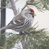 "Finch like Birds: <span style=""color:#fff; background:#333;"">Hoary Redpoll</span>  <br> Private residence in Adair County <br> <a href=""/Birds/2015-Birding/Birding-2015-February/2015-02-15-Kirksville-Area/i-nK8rrNj"">2015-02-15</a> <br><br> My 1st Missouri photo, species #339 <br> <span style=""color:#fff"">***  3rd state record ***</span> <br> 2015-02-15 11:46:33 <br><div class=""noshow"">  See #339 in photo gallery  <a href=""/Birds/2015-Birding/Birding-2015-February/2015-02-15-Kirksville-Area/i-X4Pffsd""> Here</a> </div>"