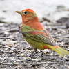 "Forest Edge Birds: Tanagers: <span style=""color:#fff; background:#333;"">Summer Tanager</span>  <br><span class=""showLBtitle"">                                                                                         </span> Tower Grove Park <br> St. Louis, Missouri <br> <a href=""/Birds/2009-Birding/Birding-2009-May/2009-05-05-Tower-Grove-Park/i-GfXcGGv"">2009-05-05</a> <br> <br> My 1st Missouri photo, species #133 <br>  2006-09-27 14:44:35 <br> <div class=""noshow"">See #133 in photo gallery <a href=""/Birds/2006-Birding/Birding-2006-September/2006-09-262728-Unger-Park-St/i-b3LF67f"">Here</a></div>"