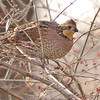 "Gamebirds: <span style=""color:#fff; background:#333;"">Northern Bobwhite</span> (Female)  <br><span class=""showLBtitle"">                                                                                         </span> Creve Couer Marsh <br> St. Louis County, Missouri <br> <a href=""/Birds/2006-Birding/Birding-2006-December/2006-12-15-Creve-Coeur-Marsh/i-QBqKS4N"">2006-12-15</a> <br> <br> My 1st Missouri photo, species #76 <br>  2006-04-15 10:48:54 <br> <div class=""noshow"">See #76 in photo gallery <a href=""/Birds/2006-Birding/Birding-2006-April/2006-04-15-Creve-Coeur-Marsh/i-sF64hd4"">Here</a></div>"
