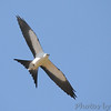 "Birds of Prey: Kites: <span style=""color:#fff; background:#333;"">Swallow-tailed Kite</span>  <br> Weldon Springs CA <br> 51"" wing span <br> <a href=""/Birds/2006-Birding/Birding-2006-July-August/2006-08-15-Weldon-Spring-Site/i-rzxZwhS"">2006-08-15</a> <br><br>  My 1st Missouri photo, species #126 <br><span style=""color:#fff"">*** 7th modern state record ***</span> <br> 2006-08-12 13:02:01 <br><div class=""noshow"">  See #126 in photo gallery  <a href=""/Birds/2006-Birding/Birding-2006-July-August/2006-08-12-Weldon-Spring-Site/i-Vj92HNN"">Here</a> </div>"