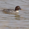 "Ducks: <span style=""color:#fff; background:#333;"">Common Goldeneye</span> (Female)  <br> Riverlands Migratory Bird Sanctuary <br> <a href=""/Birds/2006-Birding/Birding-2006-December/2006-12-16-Riverlands/i-BKh7Gp4"">2006-12-16</a> <br><br> My 1st Missouri photo, species #154 <br> 2006-12-16 15:17:12 <br><div class=""noshow""> See #154 in photo gallery  <a href=""/Birds/2006-Birding/Birding-2006-December/2006-12-16-Riverlands/i-kRgPLpw""> Here</a> </div>"
