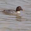 "Ducks: <span style=""color:#fff; background:#333;"">Common Goldeneye</span> (Female)  <br><span class=""showLBtitle"">                                              </span> Riverlands Migratory Bird Sanctuary <br> St. Charles County, Missouri <br> <a href=""/Birds/2006-Birding/Birding-2006-December/2006-12-16-Riverlands/i-BKh7Gp4"">2006-12-16</a> <br> <br> My 1st Missouri photo, species #154 <br> 2006-12-16 15:17:12 <br> <div class=""noshow""> See #154 in photo gallery <a href=""/Birds/2006-Birding/Birding-2006-December/2006-12-16-Riverlands/i-kRgPLpw"">Here</a></div>"