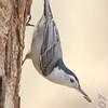 "Forest Birds: Nuthatches: <span style=""color:#fff; background:#333;"">White-breasted Nuthatch</span>  <br><span class=""showLBtitle"">                                                                                         </span> Busch Wildlife Conservation Area <br> St. Charles County, Missouri <br> <a href=""/Birds/2007-Birding/Birding-2007-March/2007-03-24-Busch-Wildlife/i-ZThWW4Z"">2007-03-24</a> <br> <br> My 1st Missouri photo, species #21 <br>  2005-03-27 16:41:06 <br> <div class=""noshow"">See #21 in photo gallery <a href=""/Birds/Misc-Birds/i-7BHpMSf"">Here</a></div>"