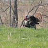 "Gamebirds: <span style=""color:#fff; background:#333;"">Eastern Wild Turkey</span>   <br><span class=""showLBtitle"">                                                                                         </span> Creve Couer Marsh <br> St. Louis County, Missouri <br> <a href=""/Birds/2006-Birding/Birding-2006-April/2006-04-09-Creve-Coeur-Marsh/i-69GxSRr"">2006-04-09</a> <br> <br> My 1st Missouri photo, species #37 <br>  2005-09-17 08:13:59 <br> <div class=""noshow"">See #37 in photo gallery <a href=""/Creatures/Lone-Elk-Park/Lone-Elk-Park-2005/i-gmW3DPg"">Here</a></div>"