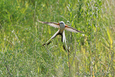 """Flycatchers: <span style=""""color:#fff; background:#333;"""">Scissor-tailed Flycatcher</span>   <br> Hwy N and I64 St. Charles County <br> <a href=""""/Birds/2008-Birding/Birding-2008-July/2008-07-23-Scissor-tailed/i-mtzBmDN"""">2008-07-23</a> <br><br> My 1st Missouri photo, species #190 <br>  2008-06-06 11:24:08 <br><div class=""""noshow"""">  See #190 in photo gallery  <a href=""""/Birds/2008-Birding/Birding-2008-June/2008-06-06-Bridgeton-Bottoms/i-pKD6sVr""""> Here</a> </div>"""