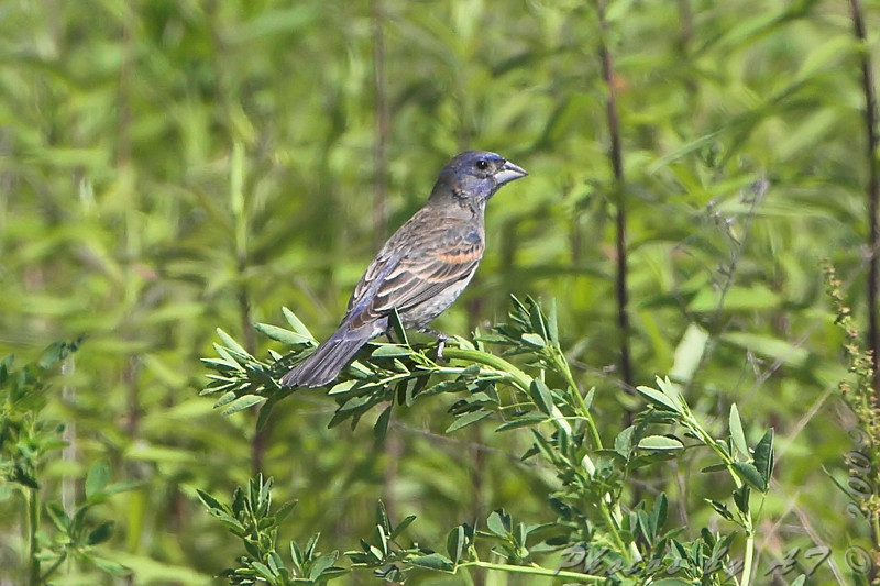 "Grosbeaks: <span style=""color:#fff; background:#333;"">Blue Grosbeak</span>  <br><span class=""showLBtitle"">                                                                                         </span> Henke Road <br> St. Charles County, Missouri <br> <a href=""/Birds/2009-Birding/Birding-2009-May/2009-05-20-St-Charles-Co/i-jxs9Xp2"">2009-05-20</a> <br> <br> My 1st Missouri photo, species #249 <br>  2009-05-20 15:34:39 <br> <div class=""noshow""> See #249 in photo gallery <a href=""/Birds/2009-Birding/Birding-2009-May/2009-05-20-St-Charles-Co/i-qwxG24v"">Here</a></div>"