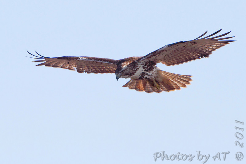 "Birds of Prey: Buteos: <span style=""color:#fff; background:#333;"">Red-tailed Hawk</span>  <br><span class=""showLBtitle"">                                                                                         </span> Spillway Marsh   <br> Riverlands Migratory Bird Sanctuary <br> St. Charles County, Missouri <br> <a href=""/Birds/2011-Birding/Birding-2011-December/2011-12-27-RMBS-CPSP/i-rqSGKTH"">2011-12-27</a> <br> <br> My 1st Missouri photo, species #48 <br> 2005-10-29 13:46:33 <br><div class=""noshow"">  See #48 in photo gallery <a href=""/Birds/2005-Birding/2005-10-29-Hwy-79-Corridor/i-VRh2mHx"">Here</a></div>"