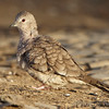"Doves: <span style=""color:#fff; background:#333;"">Inca Dove</span>  <br> Holden, MO <br> <a href=""/Birds/2015-Birding/Birding-2015-January/2015-01-10-Inca-Dove/i-ffTvFBd"">2015-01-10</a> <br><br>  My 1st Missouri photo, species #338 <br> 2015-01-10 14:20:09 <br> <div class=""noshow"">  See #338 in photo gallery  <a href=""/Birds/2015-Birding/Birding-2015-January/2015-01-10-Inca-Dove/i-2G5g6Cz""> Here</a> </div>"