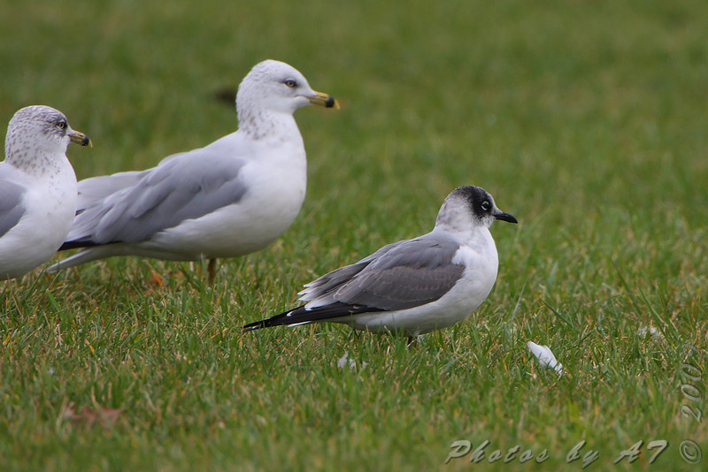 """Gulls: <span style=""""color:#fff; background:#333;"""">Franklin's Gull</span>  <br>and Ring-billed Gulls  <br><span class=""""showLBtitle"""">                                             </span> Smithville Lake <br> Holt County, Missouri <br> <a href=""""/Birds/2009-Birding/Birding-2009-November/2009-11-14-Smithville-lake/i-tXZ3Mdn"""">2009-11-14</a> <br> <br> My 1st Missouri photo, species #201 <br>  2009-11-14 08:48:51 <br> <div class=""""noshow"""">See #201 in photo gallery <a href=""""/Birds/2009-Birding/Birding-2009-November/2009-11-14-Smithville-lake/i-Q46Tpn2"""">Here</a></div>"""