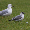 "Gulls: <span style=""color:#fff; background:#333;"">Franklin's Gull</span>  <br> and Ring-billed Gulls  <br> Smithville Lake <br> <a href=""/Birds/2009-Birding/Birding-2009-November/2009-11-14-Smithville-lake/i-tXZ3Mdn"">2009-11-14</a> <br><br> My 1st Missouri photo, species #201 <br>  2009-11-14 08:48:51 <br><div class=""noshow"">  See #201 in photo gallery  <a href=""/Birds/2009-Birding/Birding-2009-November/2009-11-14-Smithville-lake/i-Q46Tpn2""> Here</a> </div>"