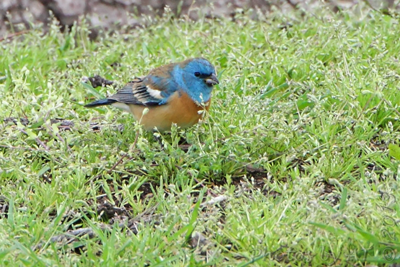 """Buntings: <span style=""""color:#fff; background:#333;"""">Lazuli Bunting</span>  <br> Bean Lake  <br> Platte County, Missouri <br> <a href=""""/Birds/2013-Birding/Birding-2013-May/2013-05-03-Bean-Lake/i-RzQKxRN"""">2013-05-03</a> <br><br> My 1st Missouri photo, species #327 <br> 2013-05-03 13:54:04 <br><div class=""""noshow""""> See #327 in photo gallery  <a href=""""/Birds/2013-Birding/Birding-2013-May/2013-05-03-Bean-Lake/i-BVJqKCN""""> Here</a> </div>"""