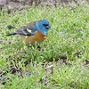 "Buntings: <span style=""color:#fff; background:#333;"">Lazuli Bunting</span>  <br> Bean Lake  <br> <a href=""/Birds/2013-Birding/Birding-2013-May/2013-05-03-Bean-Lake/i-RzQKxRN"">2013-05-03</a> <br><br> My 1st Missouri photo, species #327 <br> 2013-05-03 13:54:04 <br><div class=""noshow""> See #327 in photo gallery  <a href=""/Birds/2013-Birding/Birding-2013-May/2013-05-03-Bean-Lake/i-BVJqKCN""> Here</a> </div>"