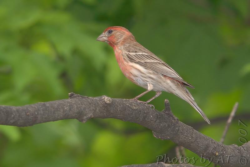 "Finch like Birds: <span style=""color:#fff; background:#333;"">House Finch</span>  <br><span class=""showLBtitle"">                                              </span> City of Bridgeton <br> St. Louis County, Missouri <br> <a href=""/Birds/2007-Birding/Birding-2007-May/2007-05-Yardbirds/i-S4XRCMK"">2007-05-10 Yardbirds</a> <br> <br> My 1st Missouri photo, species #11 <br> 2004-06-19 17:58:24 <br> <div class=""noshow"">See #11 in photo gallery <a href=""/Birds/House-Finches/i-t52Lpzs"">Here</a></div>"
