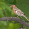 "Finch like Birds: <span style=""color:#fff; background:#333;"">House Finch</span>  <br> Bridgeton, Mo. <br> <a href=""/Birds/2007-Birding/Birding-2007-May/2007-05-Yardbirds/i-S4XRCMK"">2007-05-10 Yardbirds</a> <br><br> My 1st Missouri photo, species #11 <br> 2004-06-19 17:58:24 <br><div class=""noshow"">  See #11 in photo gallery  <a href=""/Birds/House-Finches/i-t52Lpzs""> Here</a> </div>"