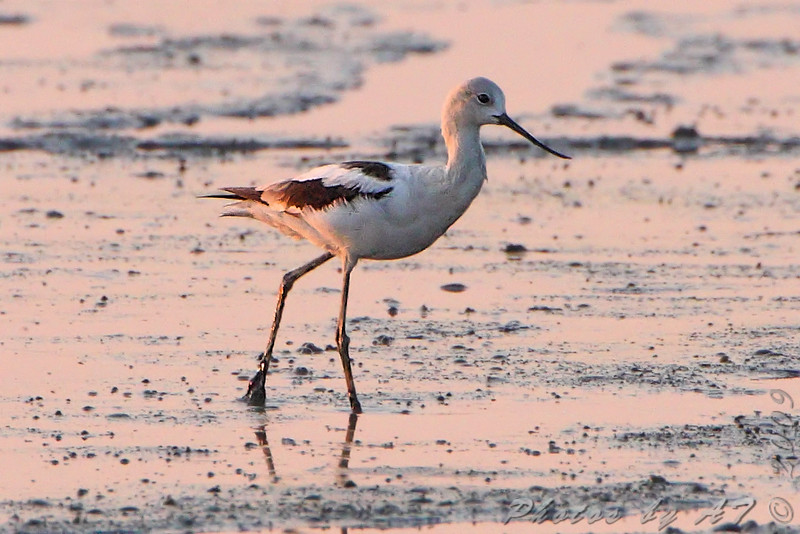 "Marsh Birds: <span style=""color:#fff; background:#333;"">American Avocet</span>  <br><span class=""showLBtitle"">                                                                                          </span> Sunrise at Heron Pond <br> Riverlands Migratory Bird Sanctuary <br> St. Charles County, Missouri <br> <a href=""/Birds/2009-Birding/Birding-2009-September/2009-09-12-RMBS/i-sSvrG4W"">2009-09-12</a> <br> <br> My 1st Missouri photo, species #264  <br>	 2009-09-12 07:00:04<br> <div class=""noshow""> See #264 in photo gallery <a href=""/Birds/2009-Birding/Birding-2009-September/2009-09-12-RMBS/i-RJRrFT8"">here</a></div>"