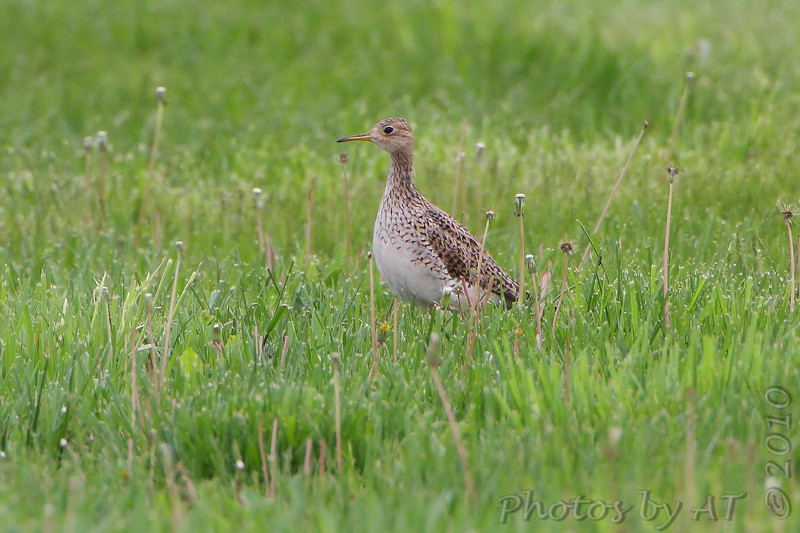 """Mudflats: Sandpipers: <span style=""""color:#fff; background:#333;"""">Upland Sandpiper</span>   <br> Wise Road  <br> Riverlands Migratory Bird Sanctuary <br> St. Charles County, Missouri <br> <a href=""""/Birds/2010-Birding/Birding-2010-April/2010-04-26-RMBS/i-bGsdXdK"""">2010-04-26</a> <br><br> My 1st Missouri photo, species #279 <br> 2010-04-26 16:17:12 <br><div class=""""noshow"""">  See #279 in photo gallery  <a href=""""/Birds/2010-Birding/Birding-2010-April/2010-04-26-RMBS/i-FxB3LFg""""> here</a> </div>"""
