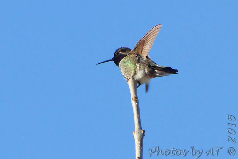 "Hummingbirds: <span style=""color:#fff; background:#333;"">Anna's Hummingbird</span>  <br> Springfield Missouri <br> <a href=""/Birds/2015-Birding/Birding-2015-December/2015-12-04-SW-Missouri/i-Zghdjj8"">2015-12-04</a> <br><br>  My 1st Missouri photo, species #343 <br><span style=""color:#fff"">*** 7th  Missouri Record ***</span> <br> 2015-12-04 09:18:43<br><div class=""noshow"">  See #343 in photo gallery  <a href=""/Birds/2015-Birding/Birding-2015-December/2015-12-04-SW-Missouri/i-Vq5BZv8""> here</a> </div>"