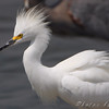 "Marsh Birds: Egrets: <span style=""color:#fff; background:#333;"">Snowy Egret</span>  <br> Teal Pond <br> Riverlands Migratory Bird Sanctuary <br>	 <a href=""/Birds/2009-Birding/Birding-2009-August/2009-08-27-RMBS/i-r4wrjnX"">2009-08-27</a> <br><br> My 1st Missouri photo, species #234 <br> 2009-05-15 13:31:03 <div class=""noshow"">  See #234 in photo gallery  <a href=""/Birds/2009-Birding/Birding-2009-May/2009-05-15-RMBS-BRPE/i-zzhkGNJ""> here</a> </div>"