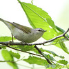 "Wood-Warblers: <span style=""color:#fff; background:#333;"">Tennessee Warbler </span> <br> Tower Grove Park <br> <a href=""/Birds/2011-Birding/Birding-2011-May/2011-05-06-Tower-Grove-Park/i-k3CCdZV"">2011-05-06</a> <br><br> My 1st Missouri photo, species #163 <br> 2007-04-24 15:23:04 <br><div class=""noshow"">  See #163 in photo gallery  <a href=""/Birds/2007-Birding/Birding-2007-April/2007-04-24-Rockwoods/i-xQMpJL2""> here</a> </div>"