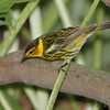 "Wood-Warblers: <span style=""color:#fff; background:#333;"">Cape May Warbler </span> <br><span class=""showLBtitle"">                                                                                         </span> Tower Grove Park <br> St. Louis Missouri <br> <a href=""/Birds/2010-Birding/Birding-2010-May/2010-05-11-TGP-Warblers/i-WfC9mvM"">2010-05-11</a> <br> <br> My 1st Missouri photo, species #188 <br> 2008-04-28 15:01:15 <br> <div class=""noshow"">See #188 in photo gallery <a href=""/Birds/2008-Birding/Birding-2008-April/2008-04-April-Yardbirds/i-2HHhtHr"">here</a></div>"