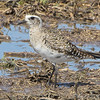 """Mudflats: Plovers:<span style=""""color:#fff; background:#333;""""> American Golden-Plover</span>  <br><span class=""""showLBtitle"""">                                             </span> Firma Road <br> St. Charles County, Missouri <br> <a href=""""/Birds/2008-Birding/Birding-2008-April/2008-04-07-Firma-Road/i-mF3n9pr"""">2008-04-07</a> <br> <br> My 1st Missouri photo, species #186 <br> 2008-04-07 14:41:29 <br> <div class=""""noshow"""">See #186 in photo gallery <a href=""""/Birds/2008-Birding/Birding-2008-April/2008-04-07-Firma-Road/i-rQn4hxP"""">here</a></div>"""