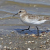 """Mudflats: Sandpipers: <span style=""""color:#fff; background:#333;"""">Baird's Sandpiper</span>  <br> Ellis Bay <br> Riverlands Migratory Bird Sanctuary <br> St. Charles County, Missouri <br> <a href=""""/Birds/2016-Birding/Birding-2016-September/2016-09-03-RMBS/i-JHXRTqb"""">2016-09-03</a> <br><br> My 1st Missouri photo, species #281 <br> 2010-05-08 14:02:59 <br><div class=""""noshow"""">  See #281 in photo gallery  <a href=""""/Birds/2010-Birding/Birding-2010-May/2010-05-08-RMBS/i-JmVxFrS""""> here</a> </div>"""