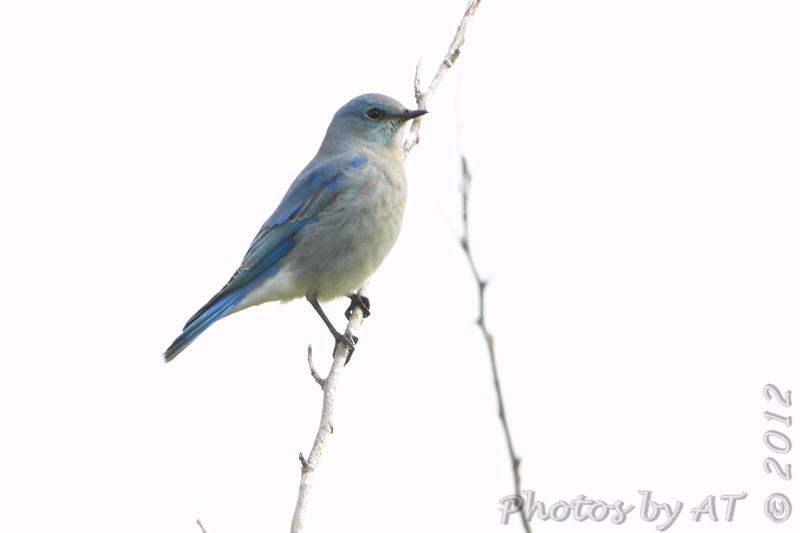 """Thrushes: <span style=""""color:#fff; background:#333;"""">Mountain Bluebird</span>  <br> SE 341 Rd <br> Johnson County, Missouri <br> <a href=""""/Birds/2012-Birding/Birding-2012-November/2012-11-15-Mountain-Bluebird/i-sgWsHph"""">2012-11-15</a> <br><br> My 1st Missouri photo, species #319 <br><span style=""""color:#fff"""">*** 13th state record  ***</span> <br> 2012-11-15 09:08:33 <br><div class=""""noshow""""> See #319 in photo gallery  <a href=""""/Birds/2012-Birding/Birding-2012-November/2012-11-15-Mountain-Bluebird/i-KDfB7xb""""> here</a> </div>"""