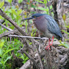 "Marsh Birds: Herons: <span style=""color:#fff; background:#333;"">Green Heron</span>  <br> Busch Wildlife Conservation Area <br> Lake 6 <br> <a href=""/Birds/2006-Birding/Birding-2006-May/2006-05-13-Busch-Wildlife-Area/i-v4cFxS9"">2006-05-13</a> <br><br> My 1st Missouri photo, species #32 <br> 2005-08-27 07:14:01 <br><div class=""noshow"">See #32 in photo gallery  <a href=""/Birds/Shore-Birds/i-ptWcMGN""> here</a> </div>"