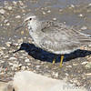 """Mudflats: Sandpipers: <span style=""""color:#fff; background:#333;"""">Red Knot (juvenile)</span>  <br> Ellis Bay <br> Riverlands Migratory Bird Sanctuary <br> St. Charles County, Missouri <br> <a href=""""/Birds/2014-Birding/Birding-2014-September/2014-09-21-RMBS-Red-Knot/i-V7zFk2f"""">2014-09-21</a> <br><br> My 1st Missouri photo, species #335 <br> 2014-09-21 10:29:32 <br> <div class=""""noshow"""">  See #335 in photo gallery  <a href=""""/Birds/2014-Birding/Birding-2014-September/2014-09-21-RMBS-Red-Knot/i-nRSzcxP""""> here</a> </div>"""
