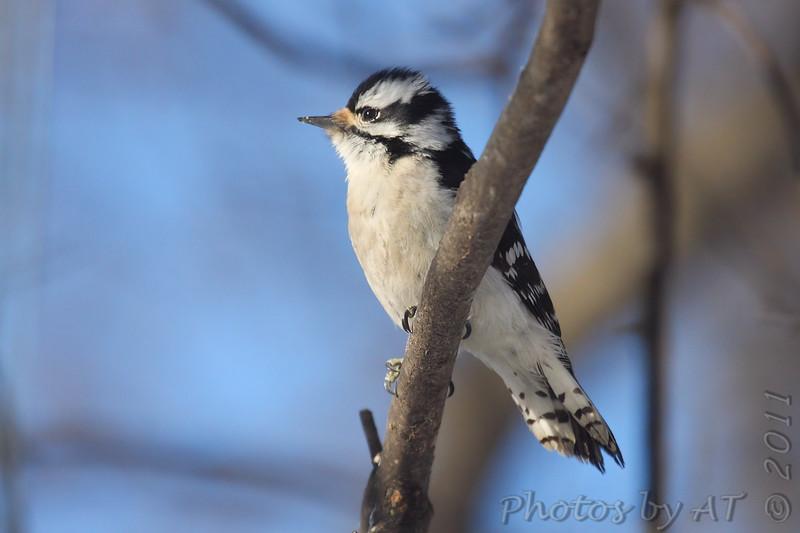"Woodpeckers: <span style=""color:#fff; background:#333;"">Downy Woodpecker</span> (Female)  <br> Bridgeton, Missouri <br> <a href=""/Birds/2011-Birding/Birding-2011-February/2011-02-Yardbirds/i-hFxL92j"">2011-02-10</a> <br><br> My 1st Missouri photo, species #23 <br> 2004-12-25 15:40:05 <br><div class=""noshow""> See #23 in photo gallery  <a href=""/Birds/Woodpeckers/i-bDcMPzf""> here</a> </div>"
