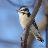 "Woodpeckers: <span style=""color:#fff; background:#333;"">Downy Woodpecker</span> (Female)  <br><span class=""showLBtitle"">                                                                                         </span> City of Bridgeton <br> St. Louis County, Missouri <br> <a href=""/Birds/2011-Birding/Birding-2011-February/2011-02-Yardbirds/i-hFxL92j"">2011-02-10</a> <br> <br> My 1st Missouri photo, species #23 <br> 2004-12-25 15:40:05 <br> <div class=""noshow"">See #23 in photo gallery <a href=""/Birds/Woodpeckers/i-bDcMPzf"">here</a></div>"